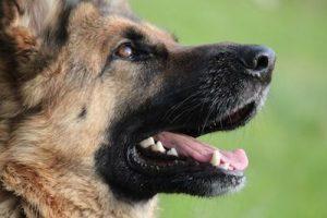 Cabeza de perro pastor alemán