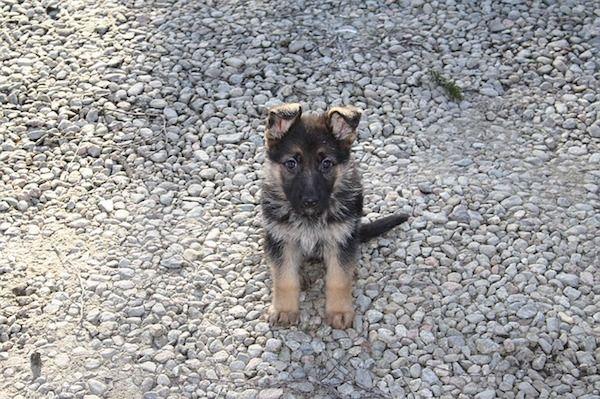 Adaptación del cachorro ovejero alemán