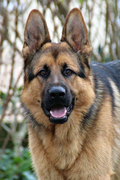 Blog Naturaleza educativa el-pastor-aleman El perro: cualidades, evolución y domesticación. Perros pastores y guardianes