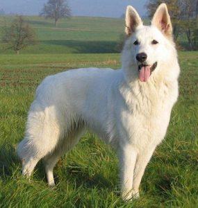 El pastor alemán blanco o pastor blanco suizo