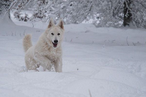 Perro pastor alemán blanco
