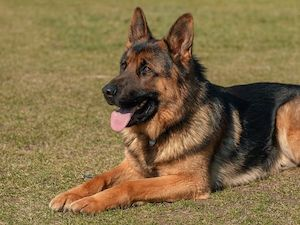 ¿Es el pastor alemán el perro adecuado para mi?