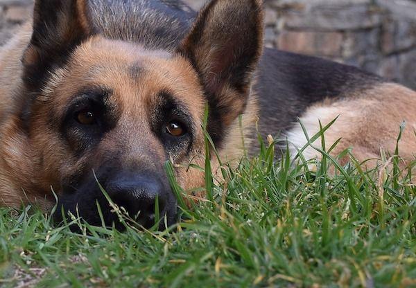 Envejecimiento del pastor aleman y esperanza de vida