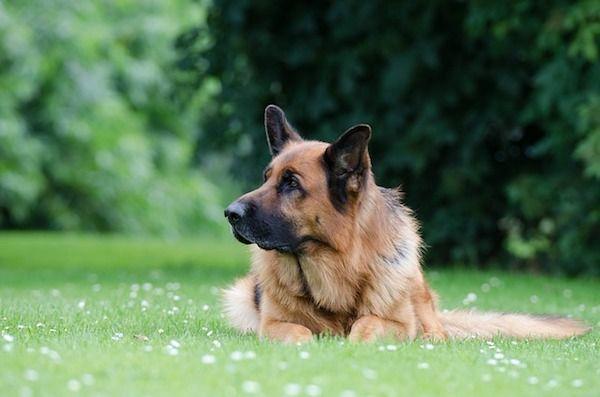 El temperamento del pastor alemán