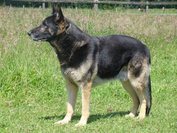 El pastor alemán checo