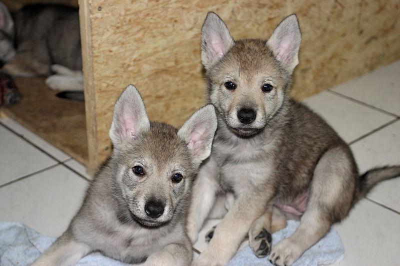 Cachorros de perro lobo checoslovaco